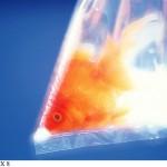 pesce rosso4