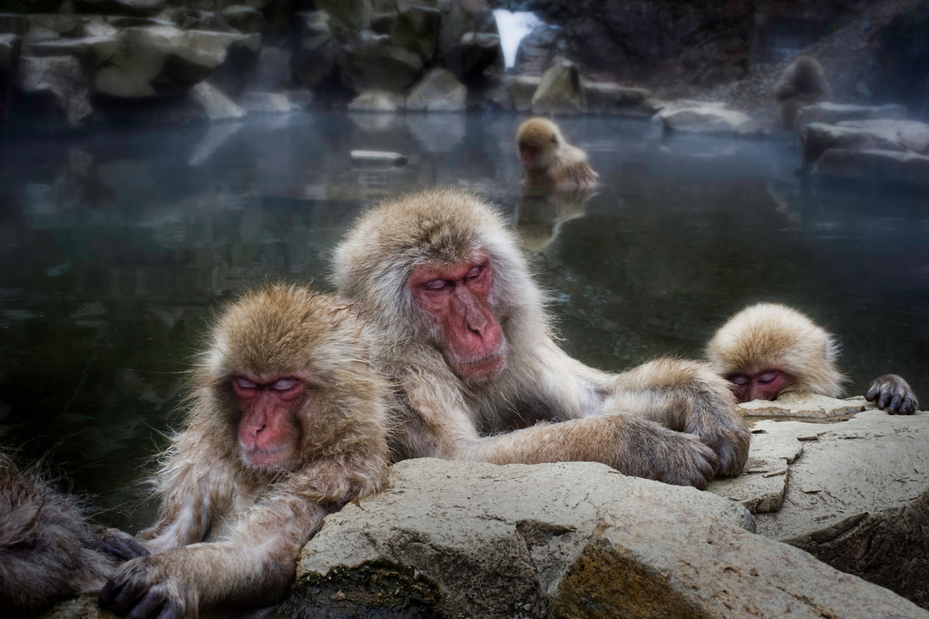 hdr-sleeping-snow-monkeys
