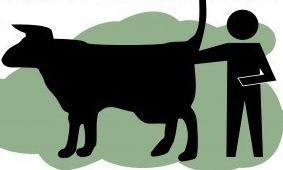 braccio nel sedere della mucca