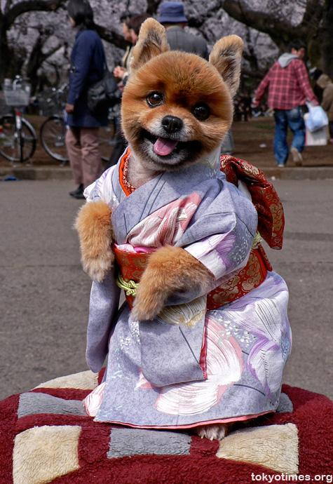 kimono dog