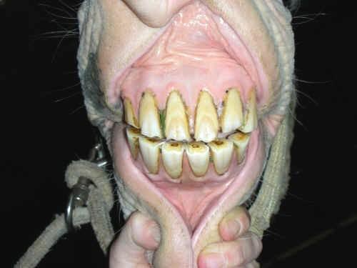 denti cavallo