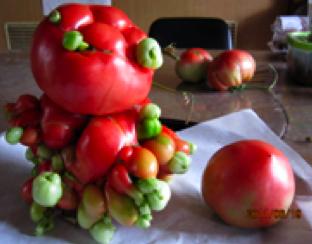 fukushima pomodori