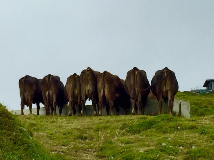 mucche trentino