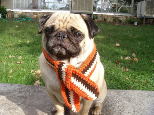 carlino con sciarpa