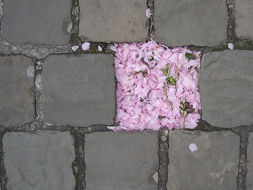 sakura petali
